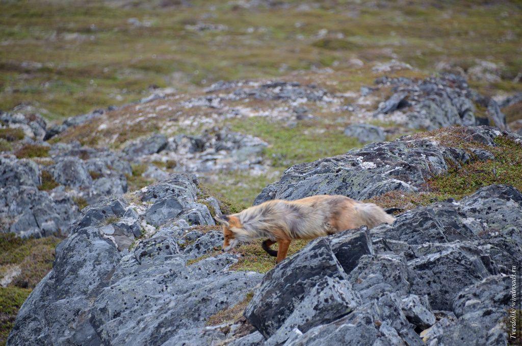 Хитрый лис на охоте
